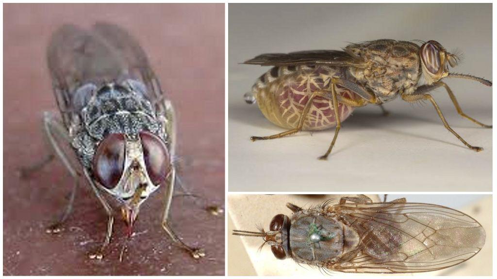 Описание и фото мухи цеце
