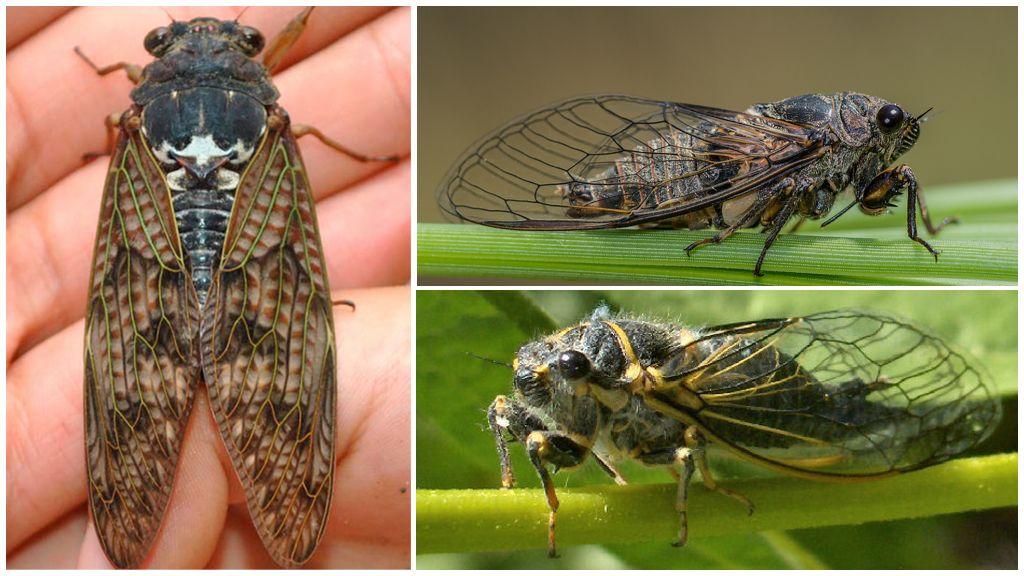 Описание и фото мухи цикады