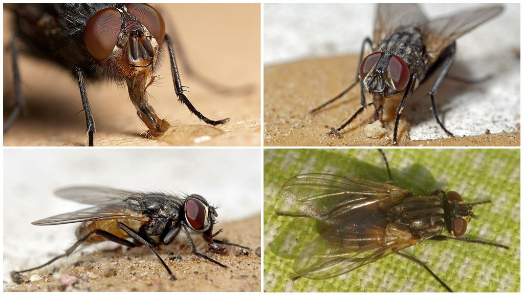Продолжительность жизни мух