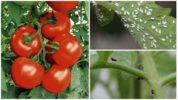 Белые или черные мушки на помидорах