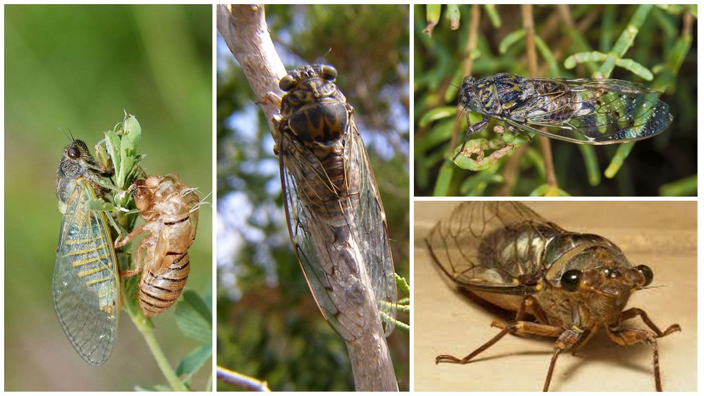 Обыкновенная цикада