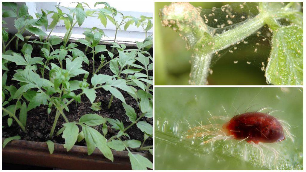 Методы борьбы с паутинным клещом на рассаде