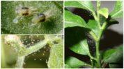 Паутинный клещ на комнатных растениях