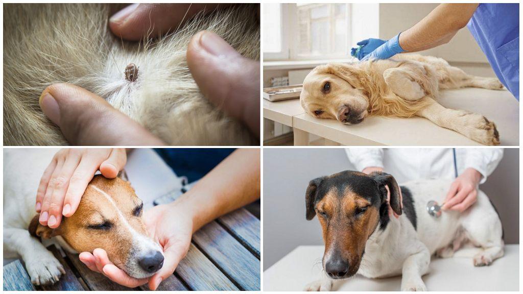 Лечение собаки от пироплазмоза