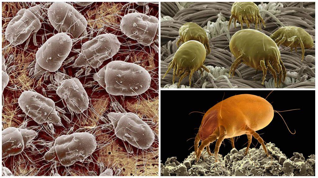 Описание и фото пылевых клещей
