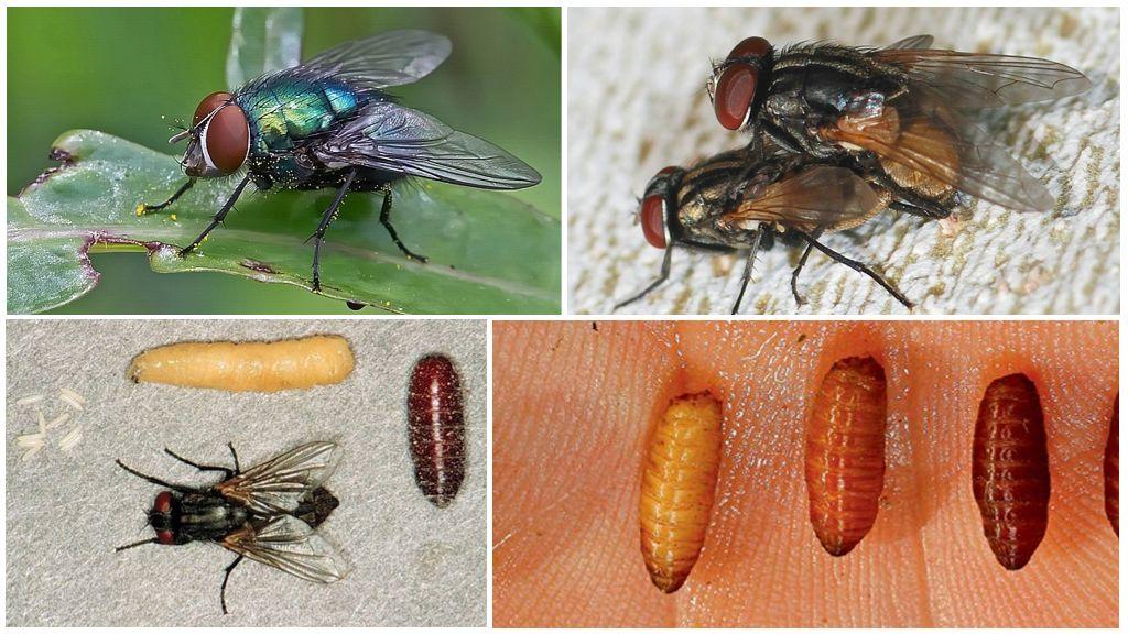 Как появляются мухи