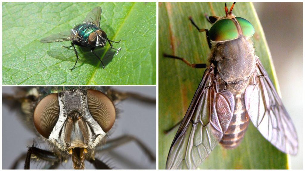 Глаза у мухи