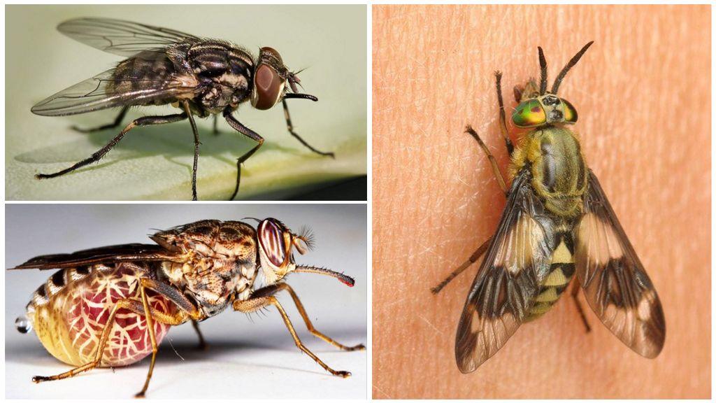 Разновидности мух с фото и описанием