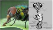 Строение головы мухи
