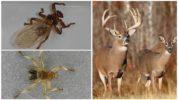 Опасность лосиной мухи для животных