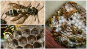 Личинки осы
