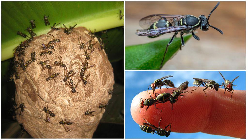 Медоносные осы вида Полибия Окциденталис