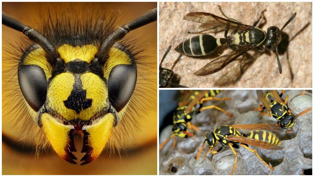 Могут ли осы видеть, спать или летать ночью