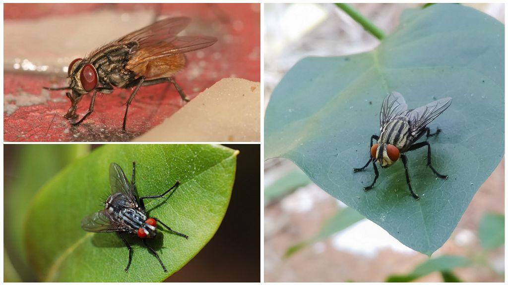 Домовая муха