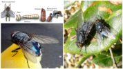 Мясная синяя муха