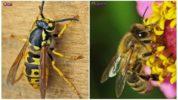 Пчела и оса