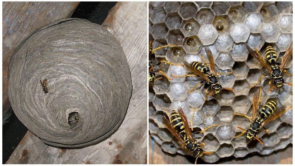 Как и из чего осы делают гнезда