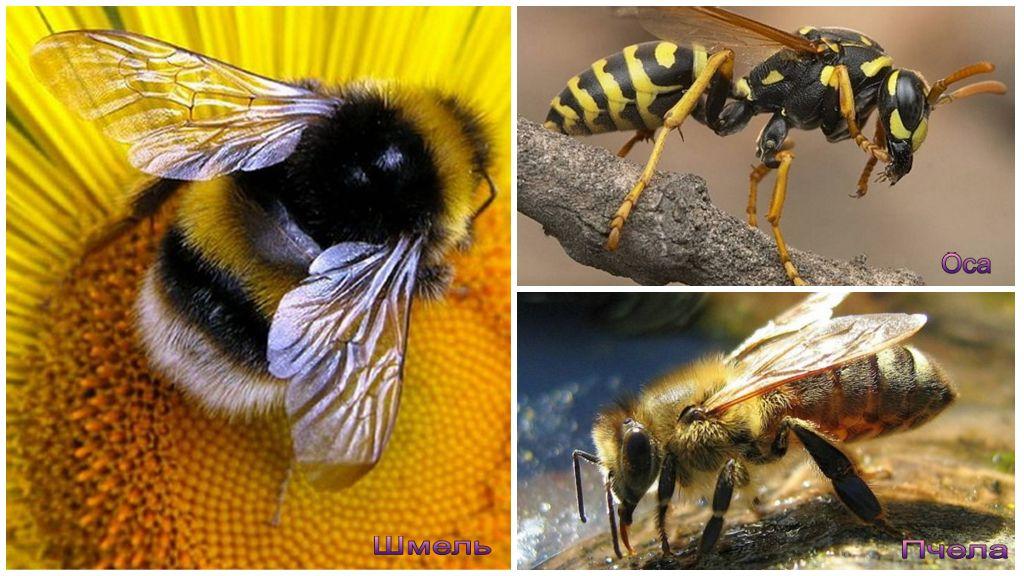 Отличия осы, пчелы и шмеля