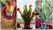 Растения-хищники: непентес, саррацения и стапелия