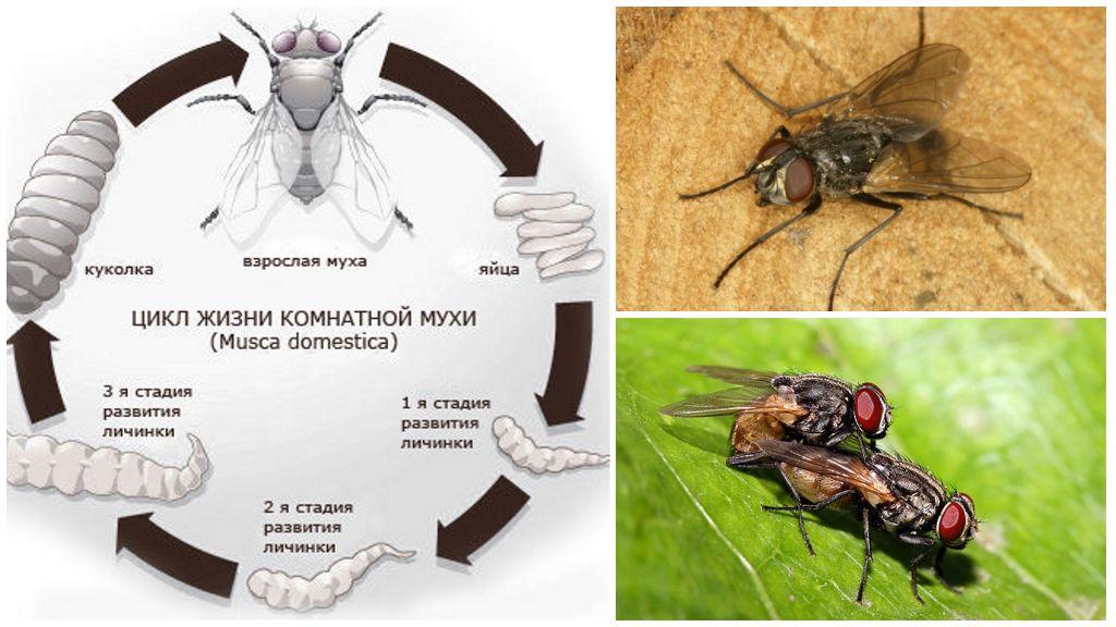 Размножение комнатной мухи