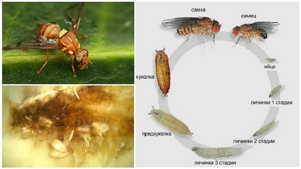Цикл развития дынной мухи