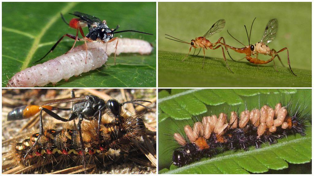 Размножение осы наездника