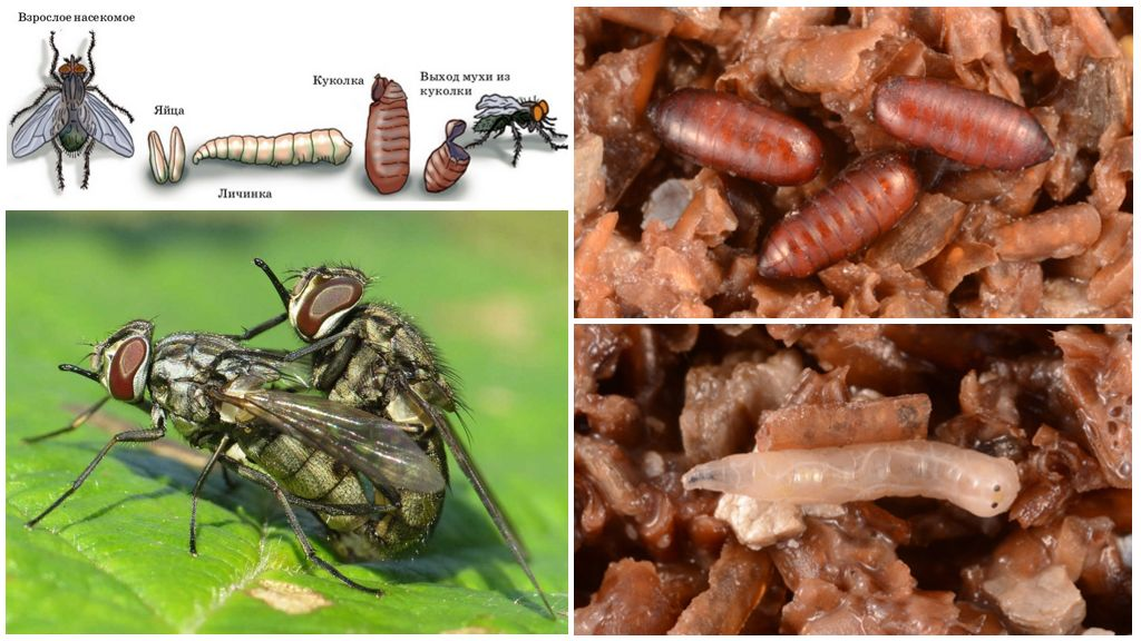 Размножение мухи жигалки