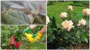 Борьба с паутинным клещом на розе