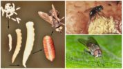 Яйца и личинки мухи