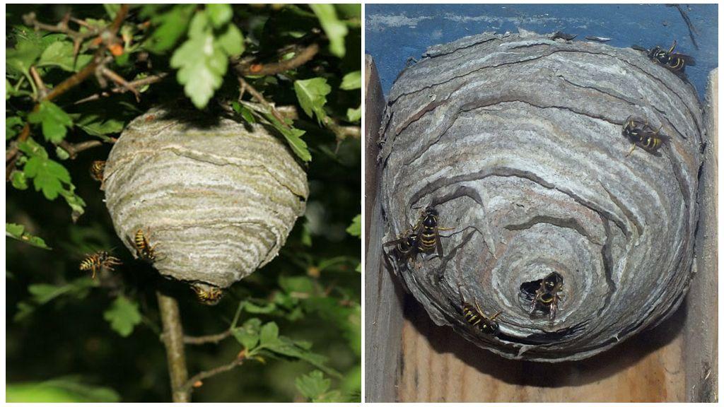Гнездо лесной осы