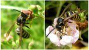 Питание лесной осы