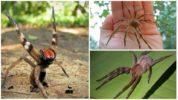 Бразильский банановый паук