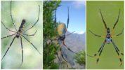 Крупные древесные пауки-кругопряды