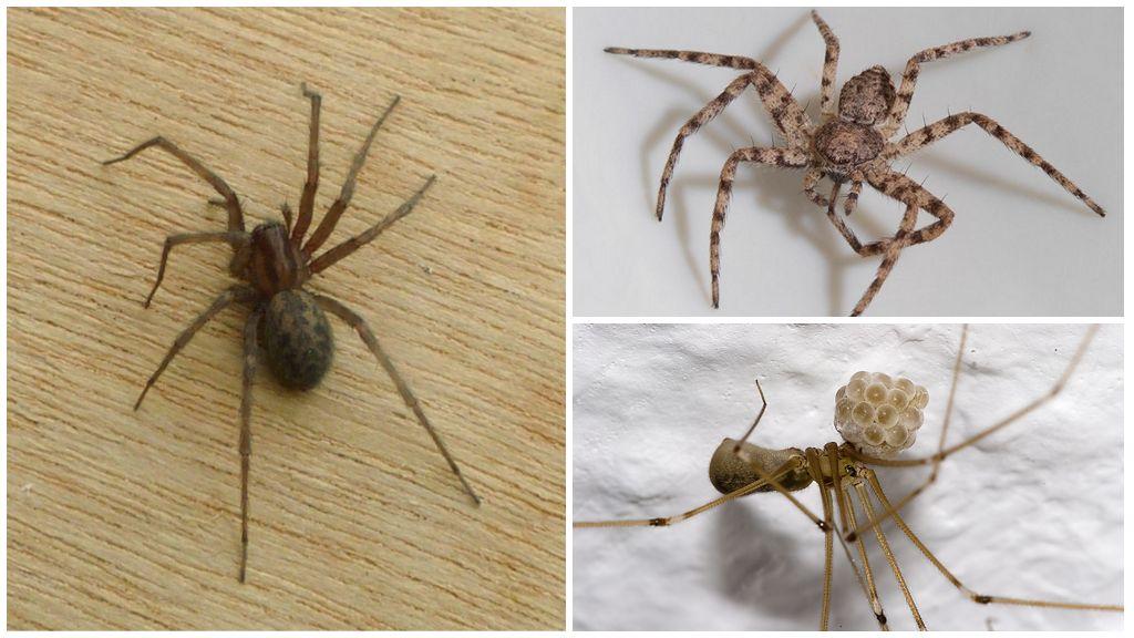 Домовый паук (Tegenaria domestica)