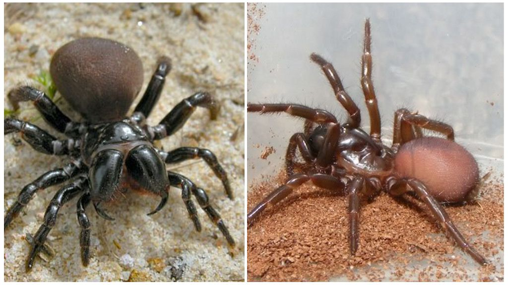 Описание и фото австралийских пауков