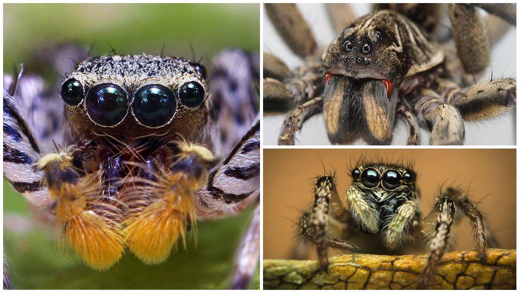 Глаза у паука