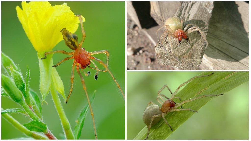 Желтый паук сак