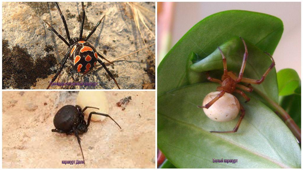 Виды паука каракурта