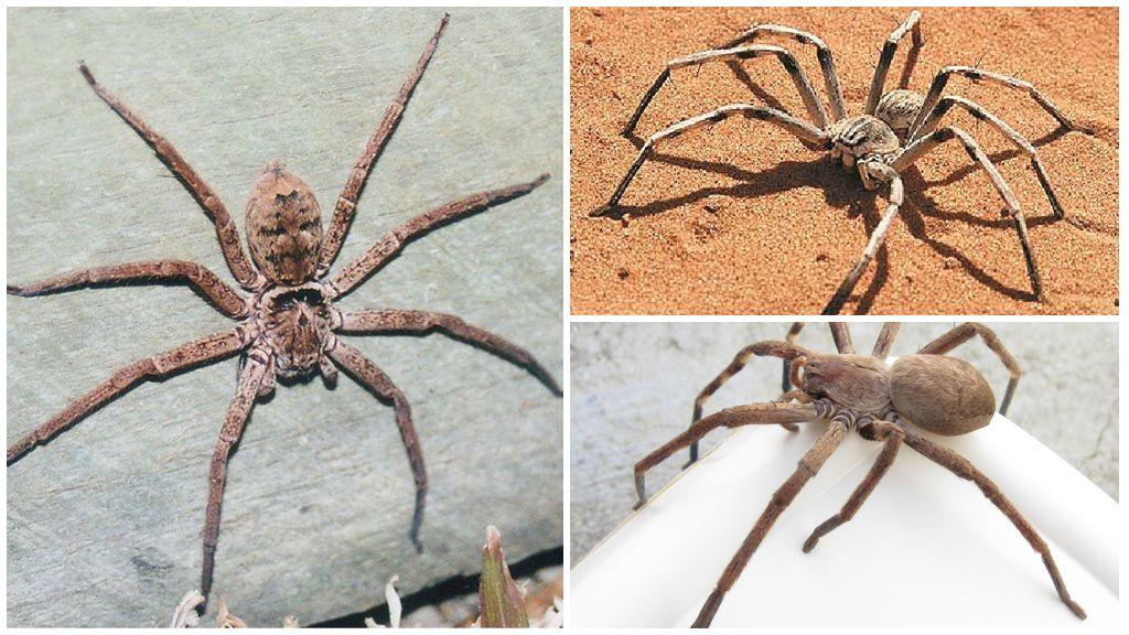Гигантский крабовый паук
