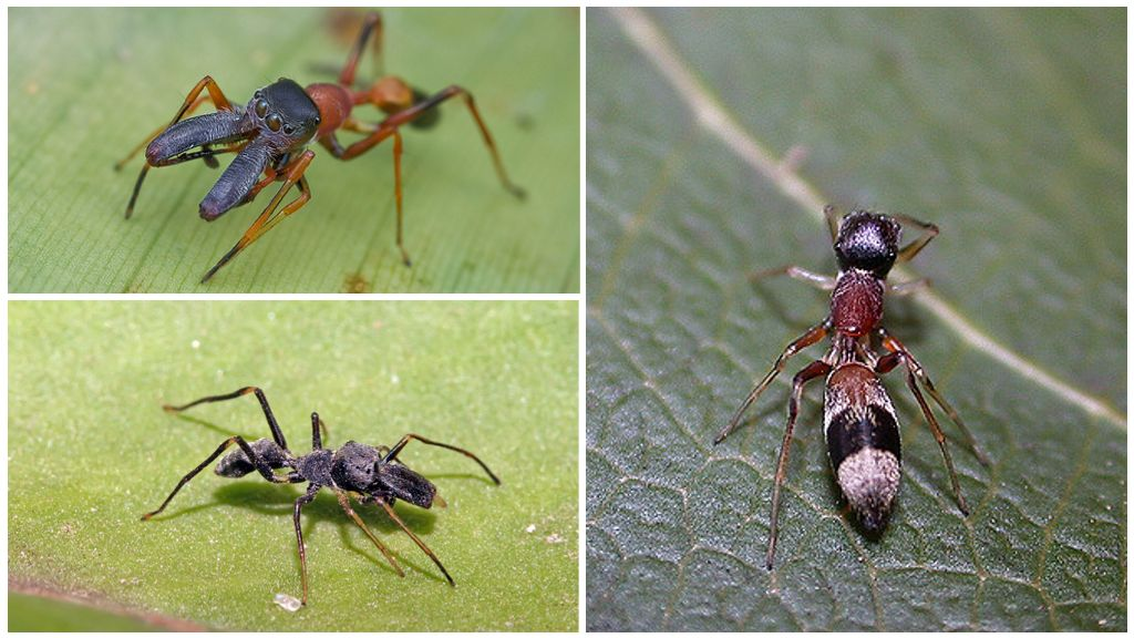 Паук-скакун вида Myrmarachne plataleoides