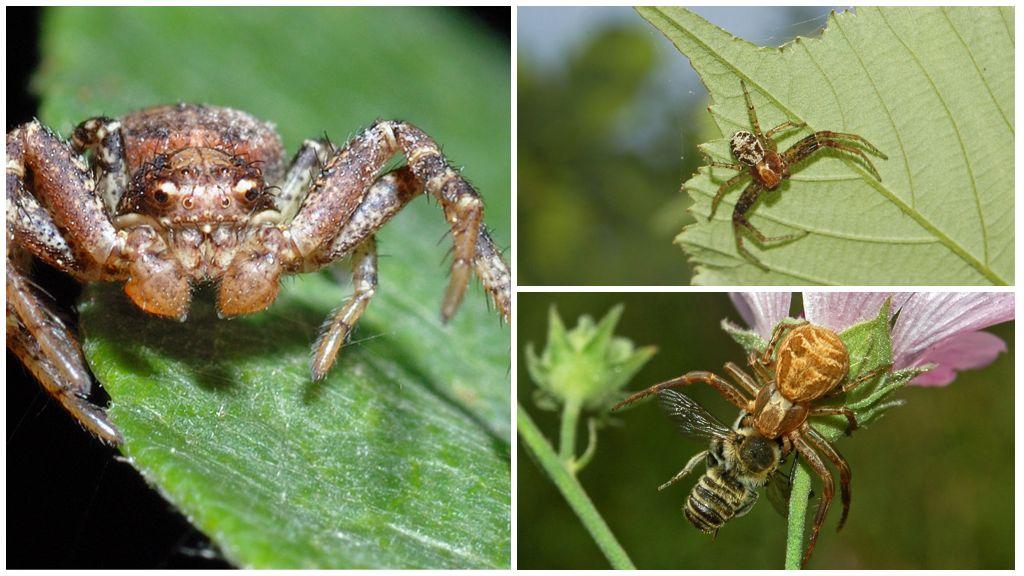 Описание и фото паука-краба (неравноногие бокоходы)