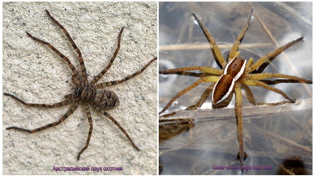 Австралийский паук-охотник