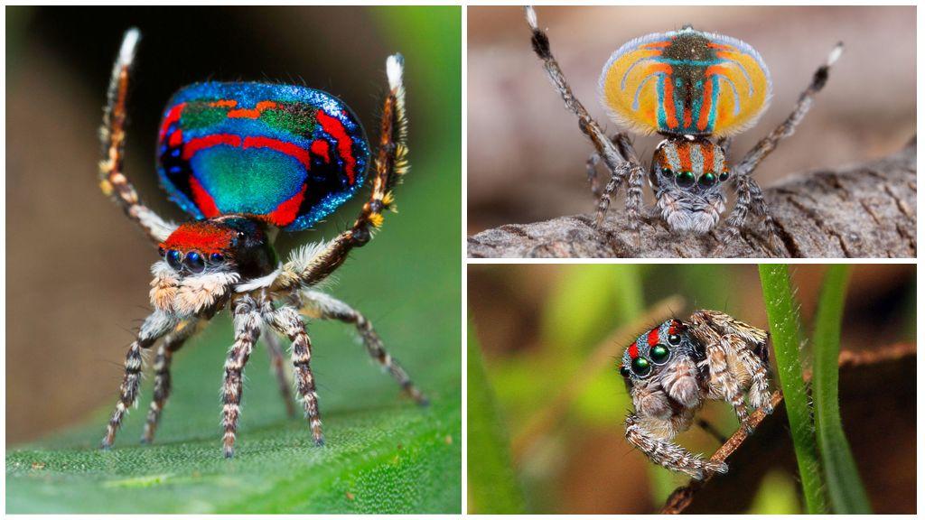 Описание и фото паука-павлина