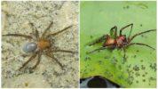 Водяной паук серебрянка