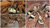 Питание паука голиафа
