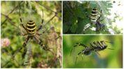Полосатый паук охотник