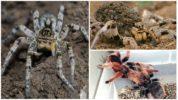 Размножение пауков