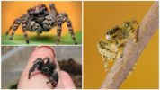 Скакунчик или прыгающий паук