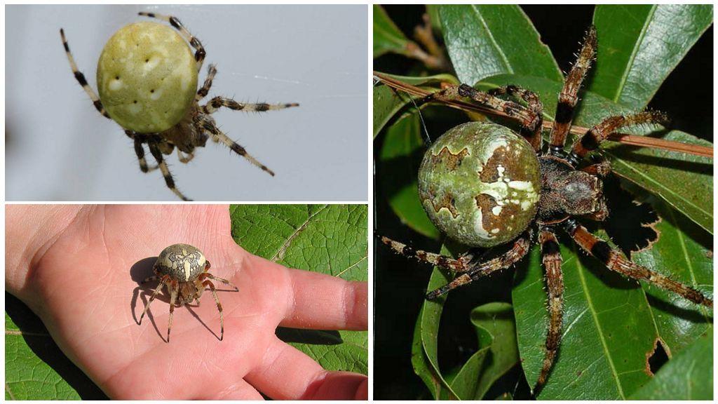 Виды пауков крестовиков