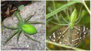 Зеленые пауки России